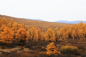 In autumn, soft yellow larch foliage lays over the myriad paths that spread out and intermingle through the immense, lively forests of the taiga. As these paths are largely uneven and obstacle-ridden, walking and riding through the taiga requires skilled acrobacy.